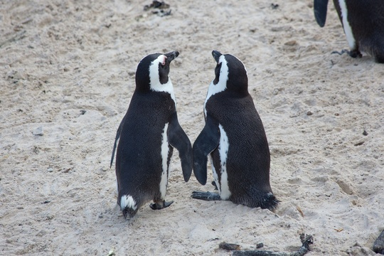 Penguin Lovebirds by Matt Biddulph