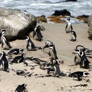 Penguins at Boulder Penguin Colony by David Berkowitz